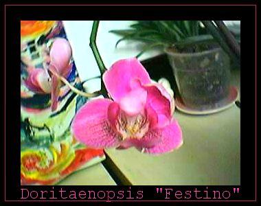Cadeau bonus : mes orchidées de vendredi !!! Dorit2