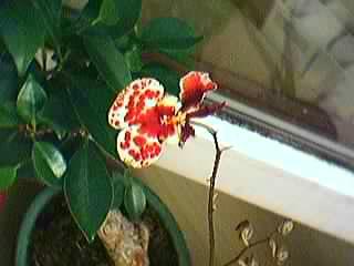 Cadeau bonus : mes orchidées de vendredi !!! Grp3