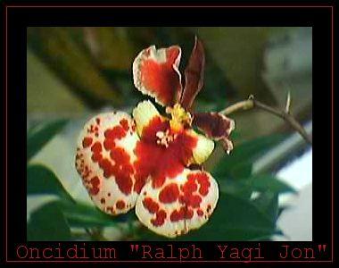 Cadeau bonus : mes orchidées de vendredi !!! Onc