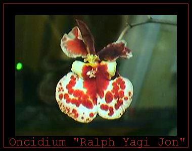 Cadeau bonus : mes orchidées de vendredi !!! Onc2