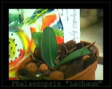 Cadeau bonus : mes orchidées de vendredi !!! Phallachaum