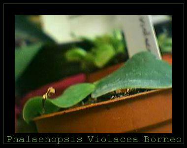 Cadeau bonus : mes orchidées de vendredi !!! Phalviolacborneo