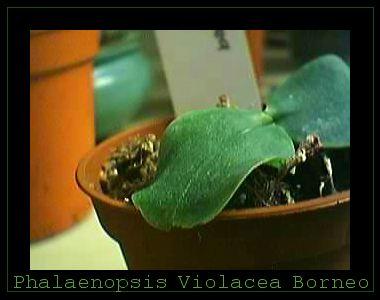 Cadeau bonus : mes orchidées de vendredi !!! Phalviolacborneo2