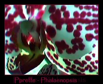 Cadeau bonus : mes orchidées de vendredi !!! Pprette2